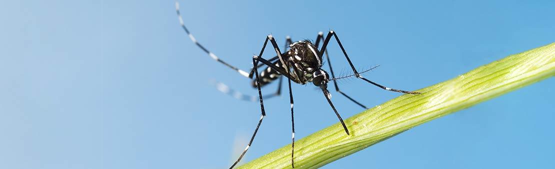 Moustiques tigres : les bons gestes à adopter pour s'en prémunir